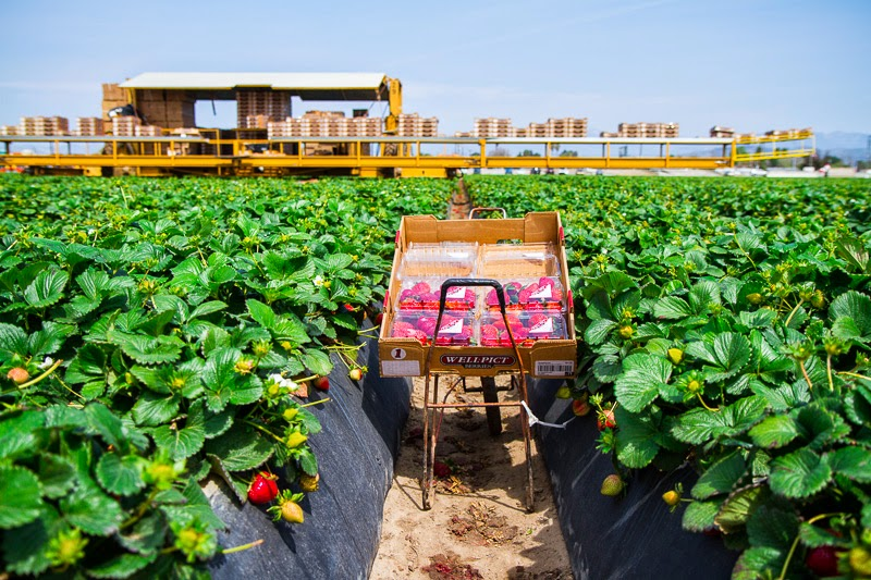 California Strawberry Field Trip